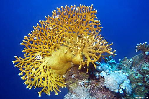 Fire Coral You Can Look But Do Not Touch They Are The Reason