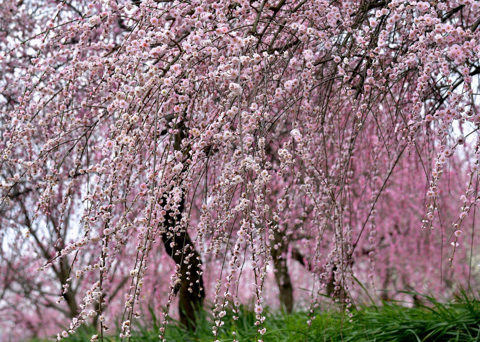 Shower Sakura Tree Tree Spring Shower