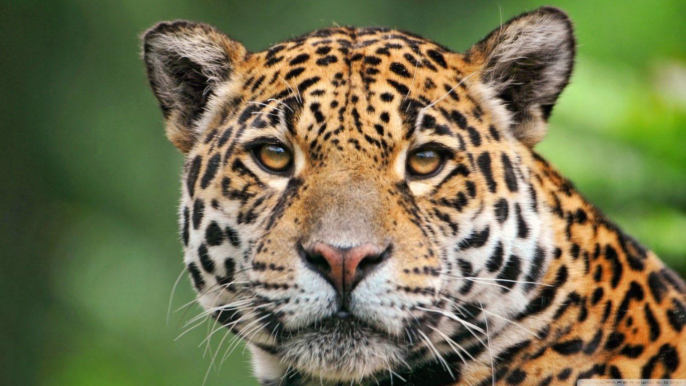1366x768 Hd Wallpaper Jaguar