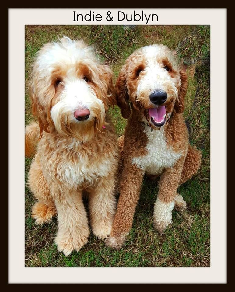 Tuxedo Goldendoodle Red White Goldendoodle Red Goldendoodle Goldendoodle Puppy