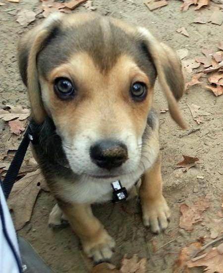 Siberian Husky Redbone Coonhound Mix Dogs Pinterest