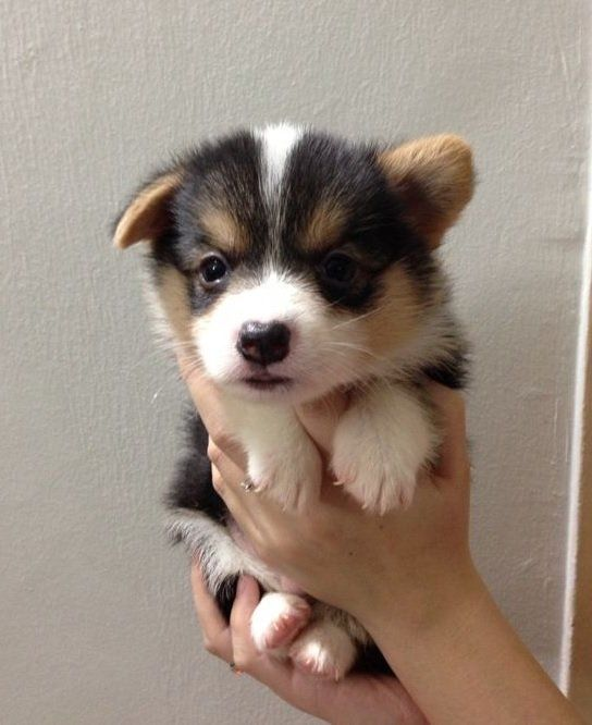 Tri Colored Corgi Pups Welsh Corgi Puppies For Sale 8 Months