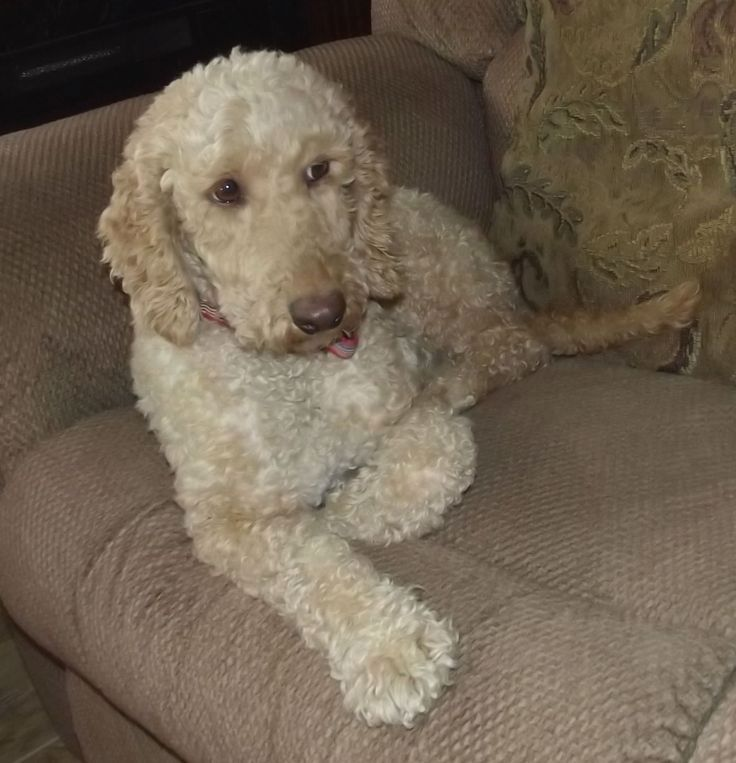 Pin by Stephanie M. Clevenger on labradoodle Labradoodle