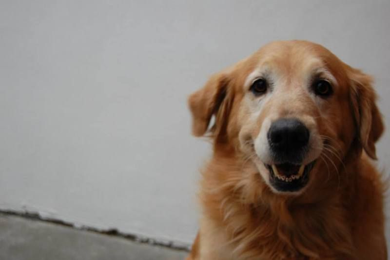 ADOPTABLE GOLDENS: Paco was much loved in his previous home but due to family health problems his owners felt he would be better off being placed with a family who could give him more love and attention. Paco is a very sweet boy .ADOPTABLE GOLDENS: KNOXVILLE TN : PETFINDER