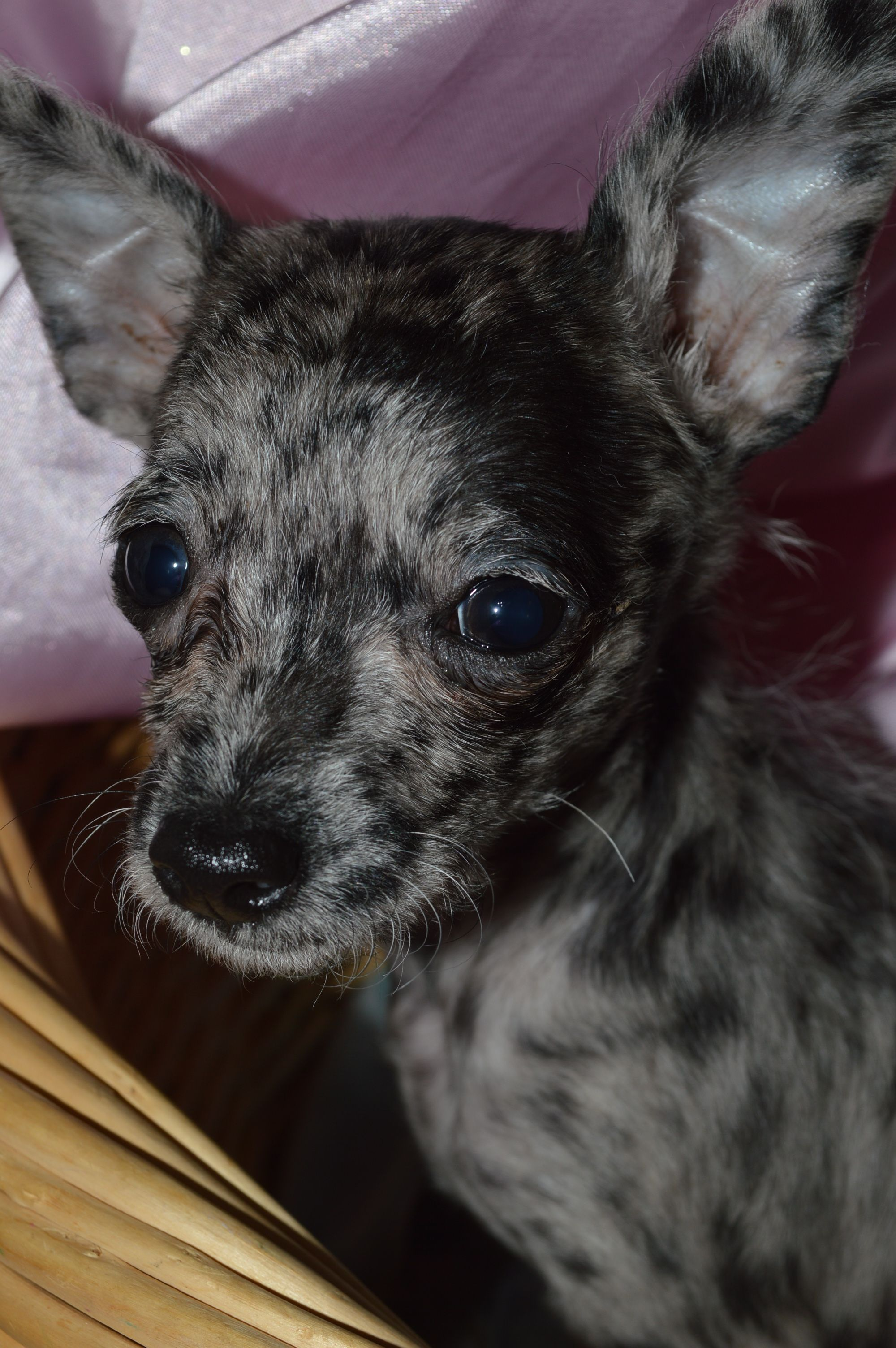 My Beautiful Blue Merle Chihuahua Merle Chihuahua Chihuahua