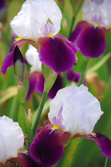 I love Iris's.  We had them on the farm where I grew up!  I think their fragrance is like opening a fresh box of Lipton Tea!!!  Love that aroma!!! =)