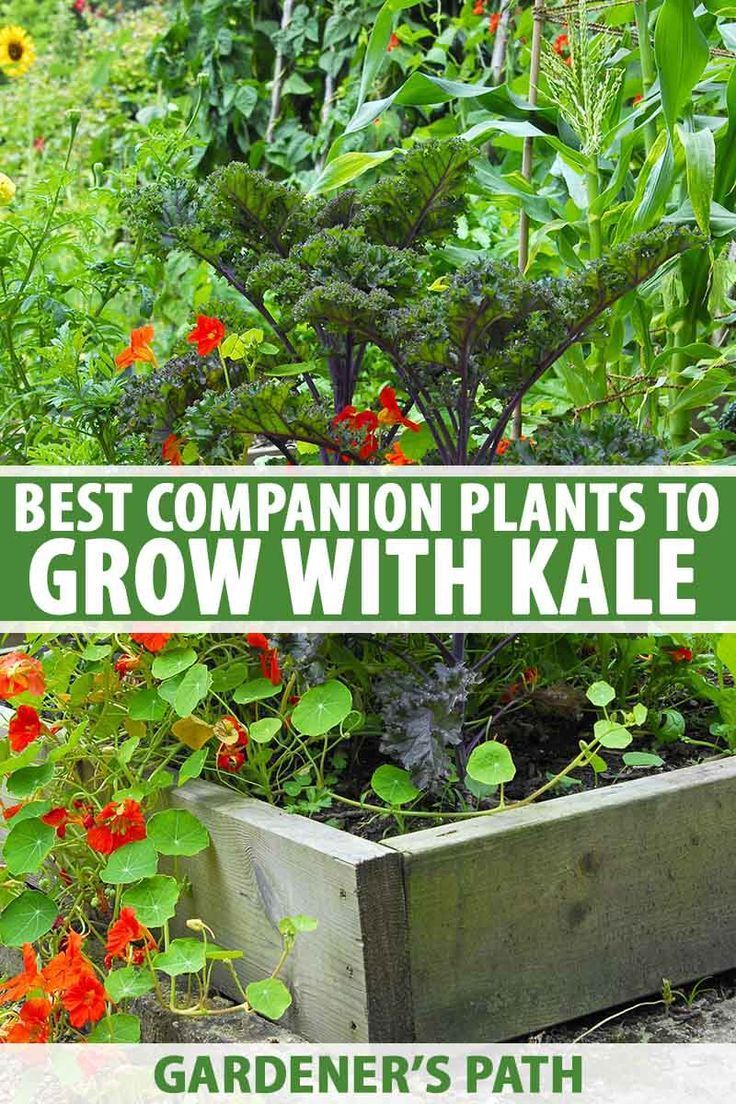 The Best Companion Plants to Grow with Kale | Companion ... Companion Planting Kale