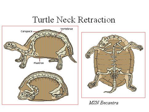 turtle anatomy - Google Search | Turtle Club | Pinterest