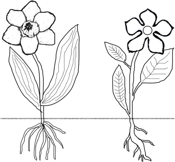 flowers:monocots versus dicots #wildflowerherbschool