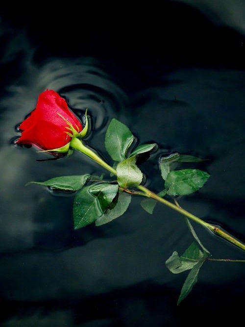Image result for single rose r.i.p