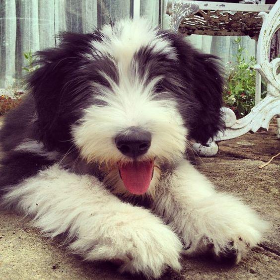 Bearded Collie Puppies (Có hình ảnh)