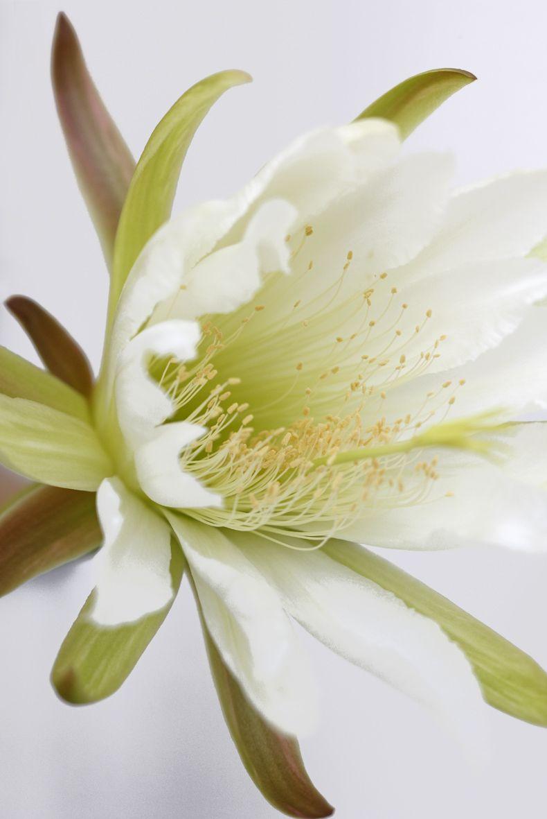 Cactus Flower White Elegance Beautiful We Garden Pinterest