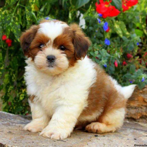 Lhasa Apso Puppy Lhasa Apso Puppies Lhasa Apso Greenfield Puppies