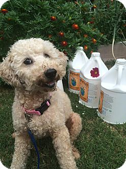 Verona Nj Poodle Miniature Mix Meet Gracie A Dog For