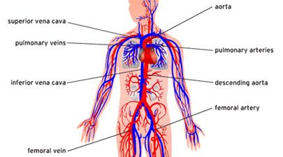 Artery system diagram wiring library human circulatory system diagram blood function vein home design rh pinterest com circulatory system diagram worksheet ccuart Images