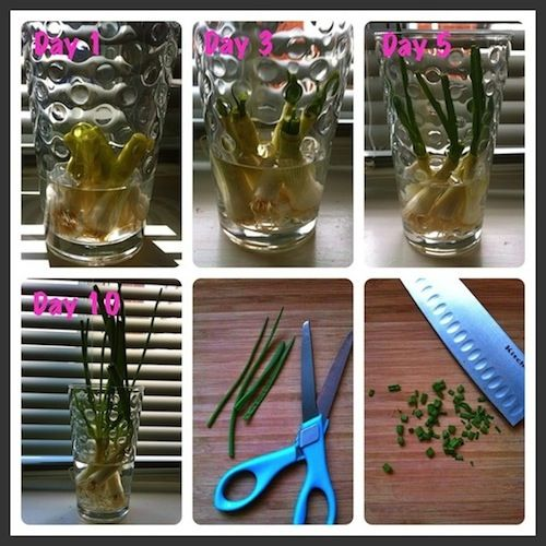 Did you know you could grow green onions in water on your for Indoor gardening onions