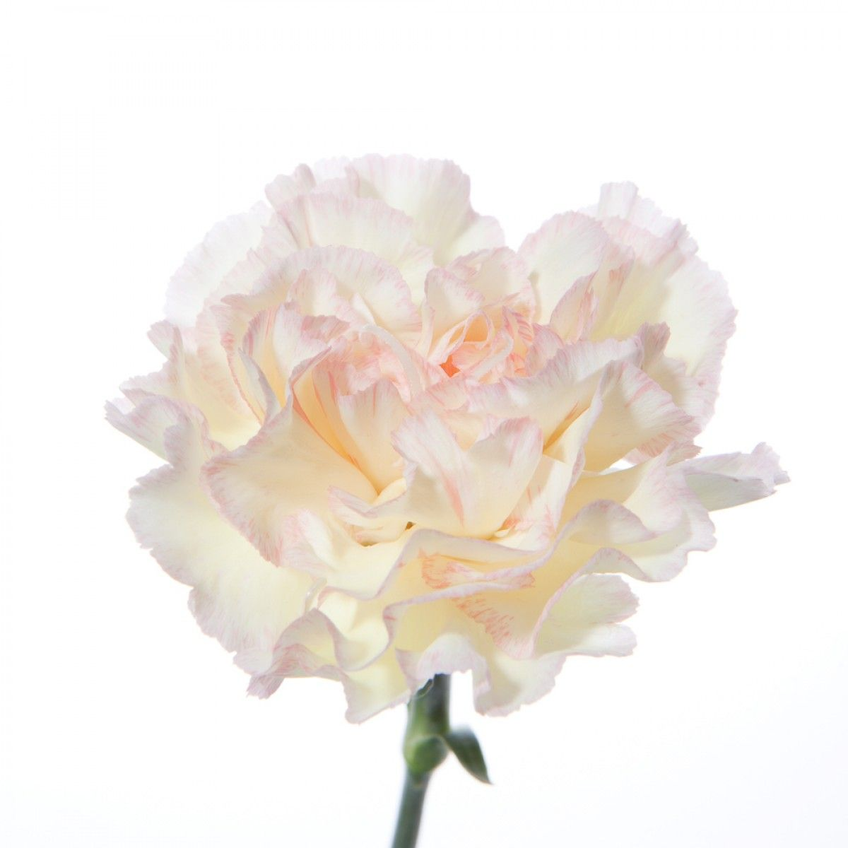 White With Pink Highlights Carnations Flower In 2018 Pinterest