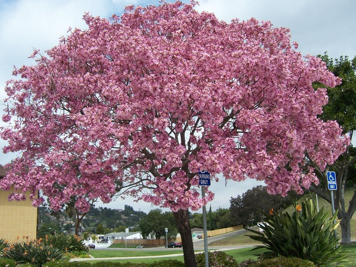 Pink trumpet tree tabebuia impetiginosa terrific trees for Tree with red flowers
