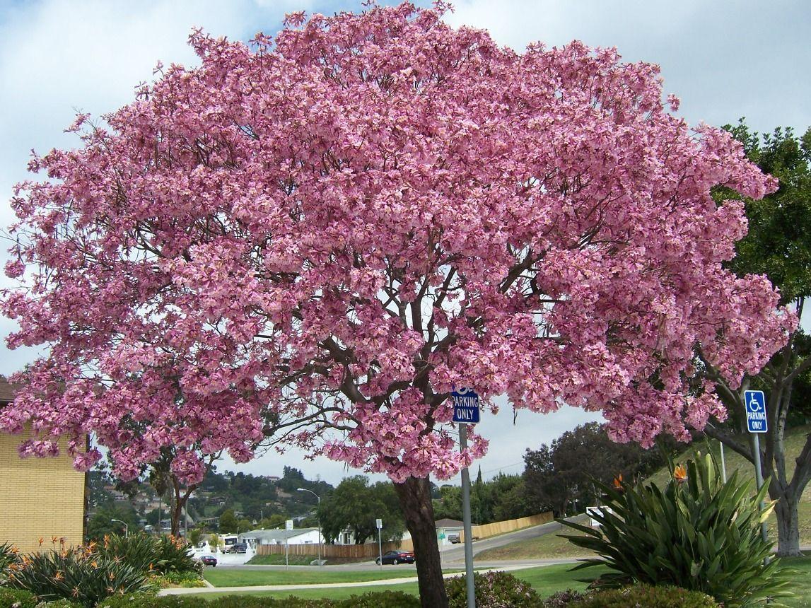Photo Pink Trumpet Tree Tabebuia Impetiginosa Flowering Trees Ornamental Trees Pink Dogwood Tree