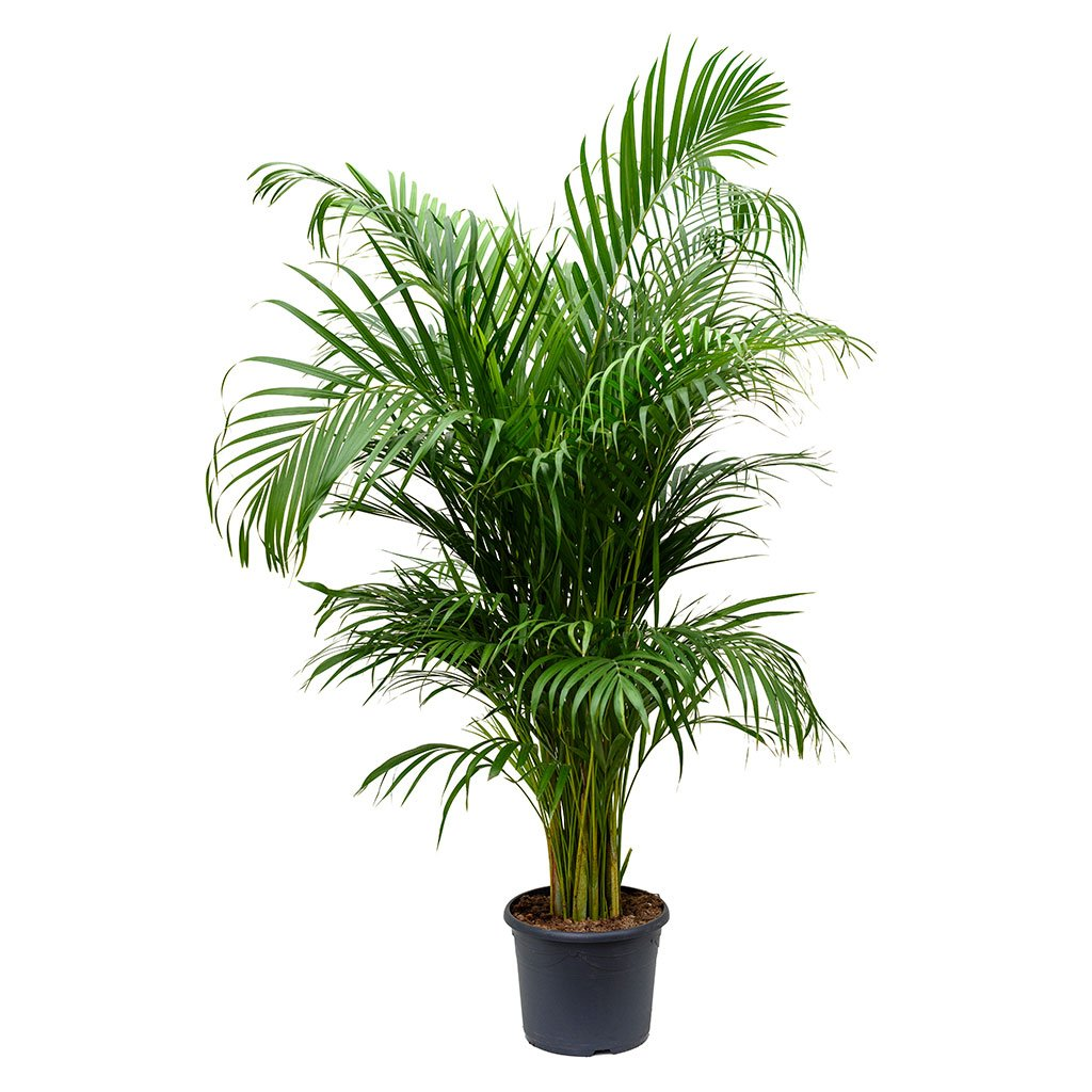 Chrysalidocarpus Lutescens Areca Palm Indoor Air Purifying Plants Plants Air Purifying Plants