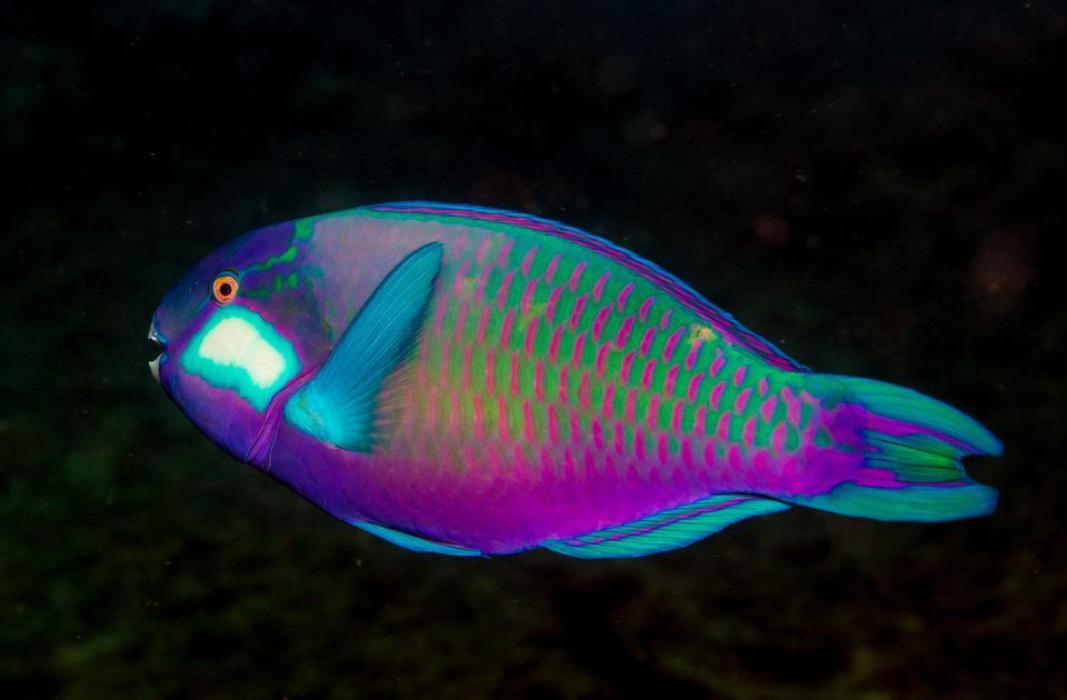 Parrotfish fish underwater life and water life for Parrot fish facts