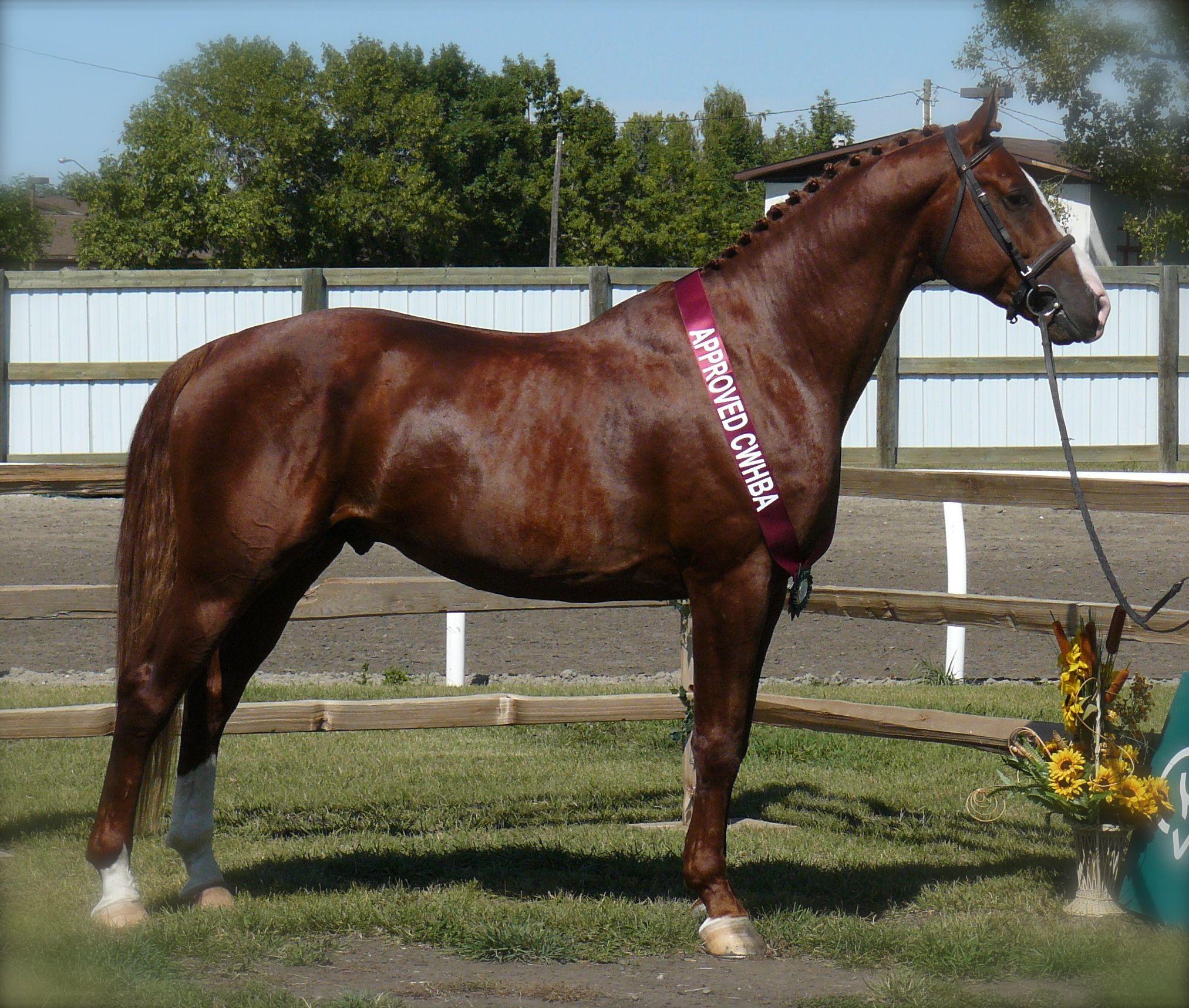 Bon Dance, a Canadian Warmblood stallion  Canadian Sport