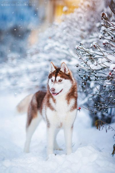 See More In 2020 Husky Dogs Dogs Husky Puppy