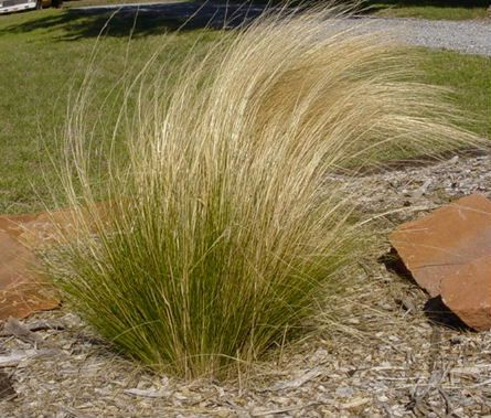 Non invasive ornamental grasses non invasive ornamental for Hearty ornamental grasses