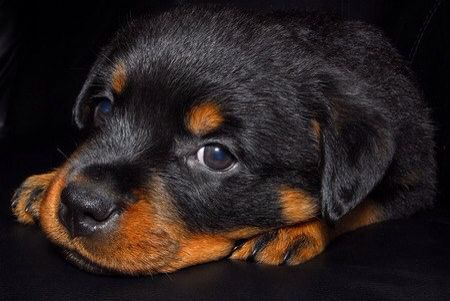 Cute Rott Dog Wallpaper Pet Dogs Rot Dog