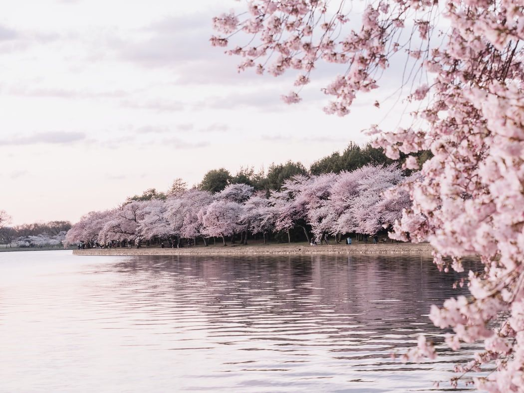 Body Of Water Beside Cherry Blossom Trees Photo Free Blossom Image On Unsplash In 2020 Cherry Blossom Tree Blossom Trees Pink Flower Pictures