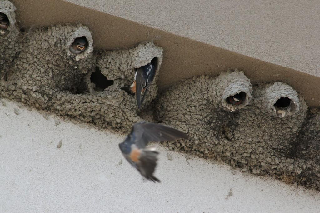 how to get rid of barn swallows nest