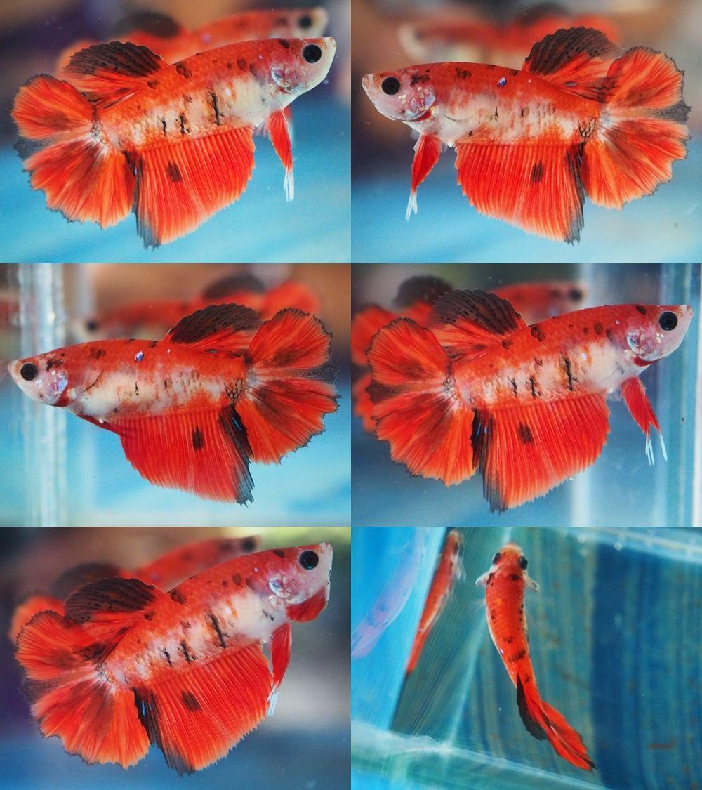 star koi hm female | Beautiful Betta Fish | Pinterest | Koi, Betta ...