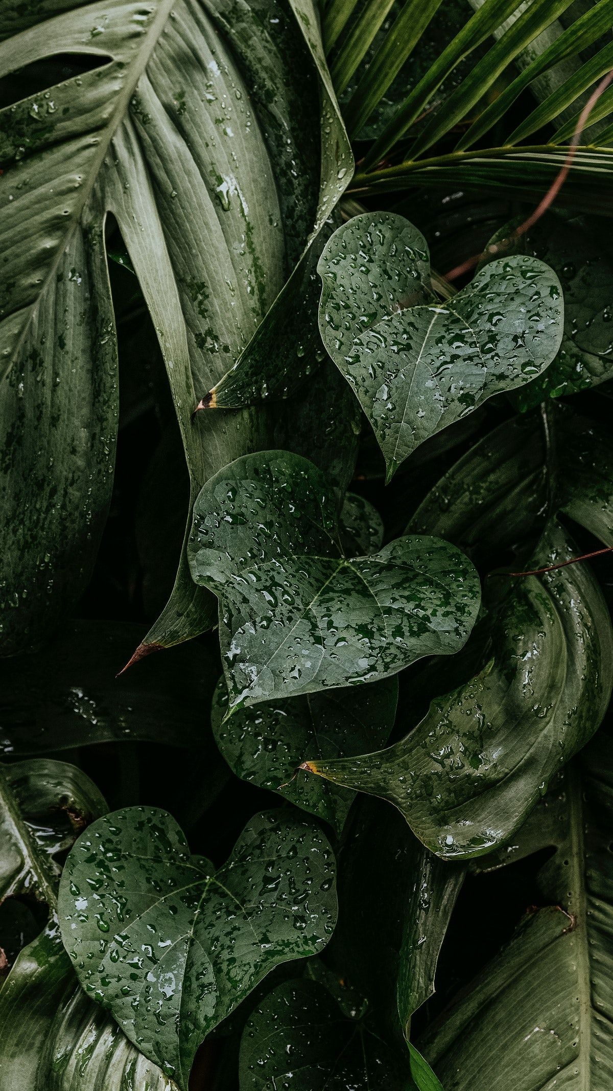 Download free image of Wet monstera plant leaves mobile wallpaper by Jira about iphone wallpaper, wallpaper, Nature wallpaper, tropical leaves, and leaves drops 2264193