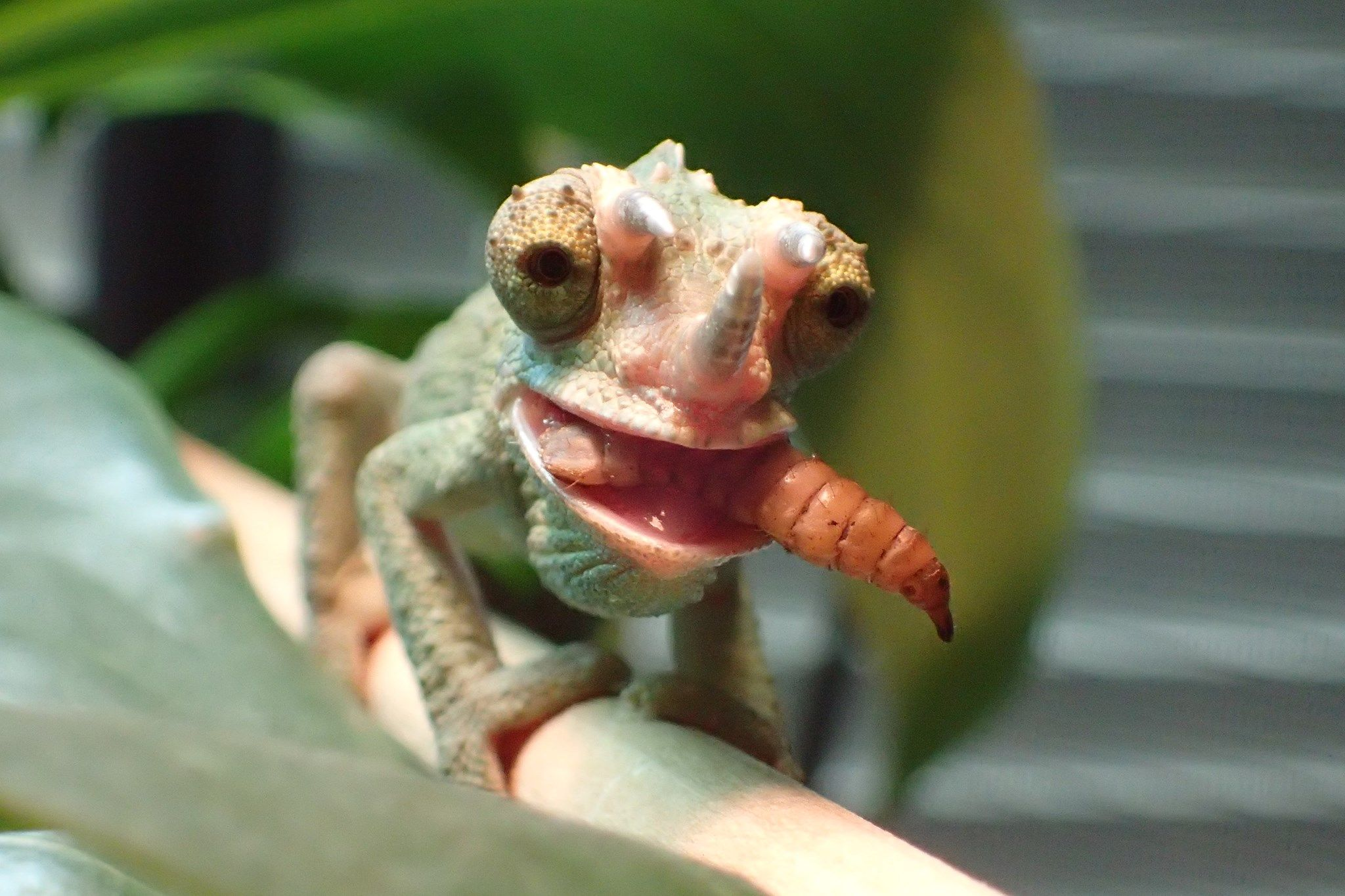 8bab804fb3d408f17ec4e284808d5738 - How To Get A Chameleon To Open Its Mouth