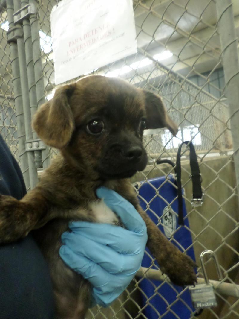 Urgent Meet 14 0012376 A Petfinder Adoptable Pug Dog Odessa