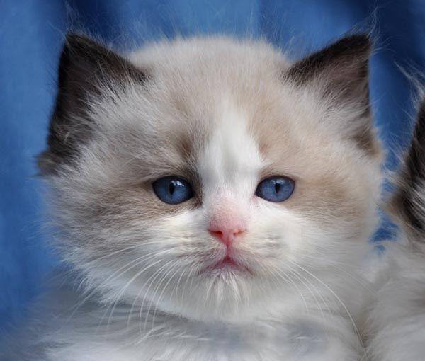 Blue Gem Ragdoll Photo Gallery Photos Of Ragdoll Cats And Kittens Ragdoll Cat Colors Ragdoll Cat Cute Cats