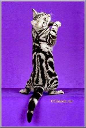Todo Sobre Mi Gato Los Gatos Silver O Plateados Odd Cat Breeds