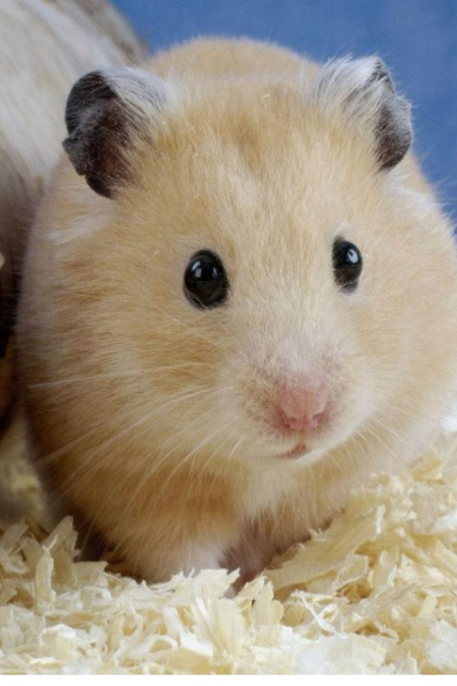 Looks just like our Teddy Bear Hamster we just got