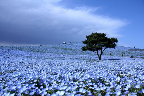 Each Year These Blossoming Blue Fields Attract Thousands Of Touristachi Park Is Located In
