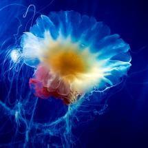 CNIDARIA - Jellyfish - thebigphoto.com