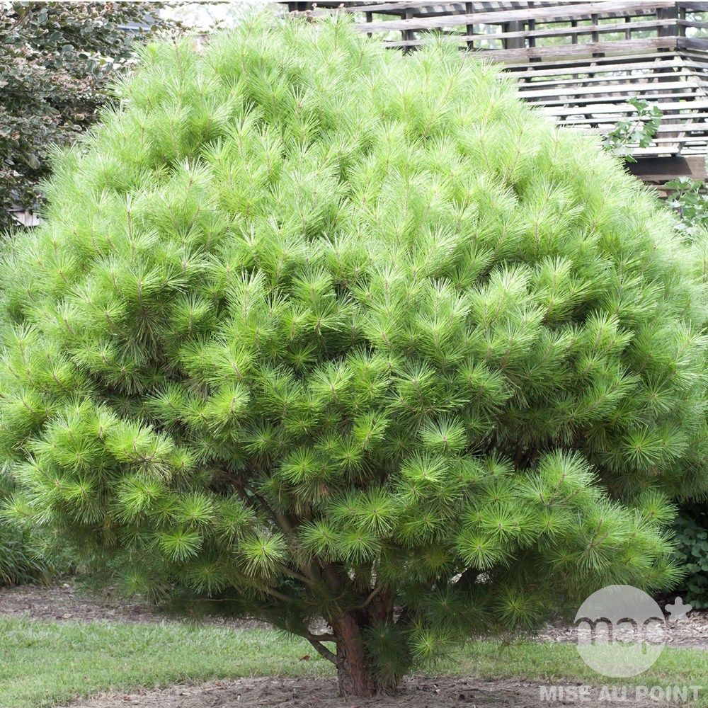 Pinus Densiflora  U0026 39 Umbraculifera U0026 39