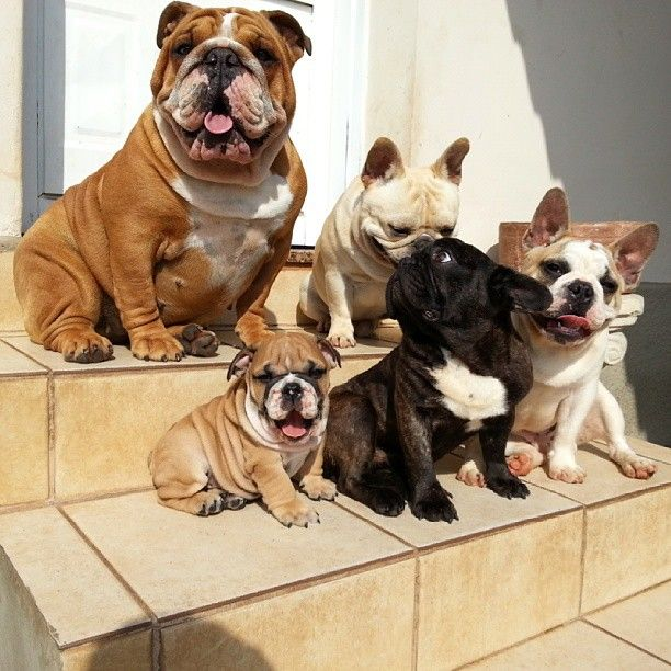 Da Crew By Jmarcoz Cute Animal Pictures French Bulldog Puppies
