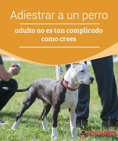 Adiestrar A Un Perro Adulto No Es Tan Complicado Como Crees Mis Animales Adoptar Un Perro Perros Entrenamiento Perros