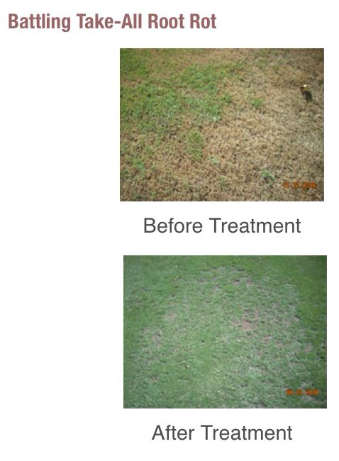 Take All Root Rot In A 419 Bermuda Lawn Tarr Is A Spring Disease Symptoms Typically Appear On St Augustine Gras Lawn Care St Augustine Grass Patio And Garden