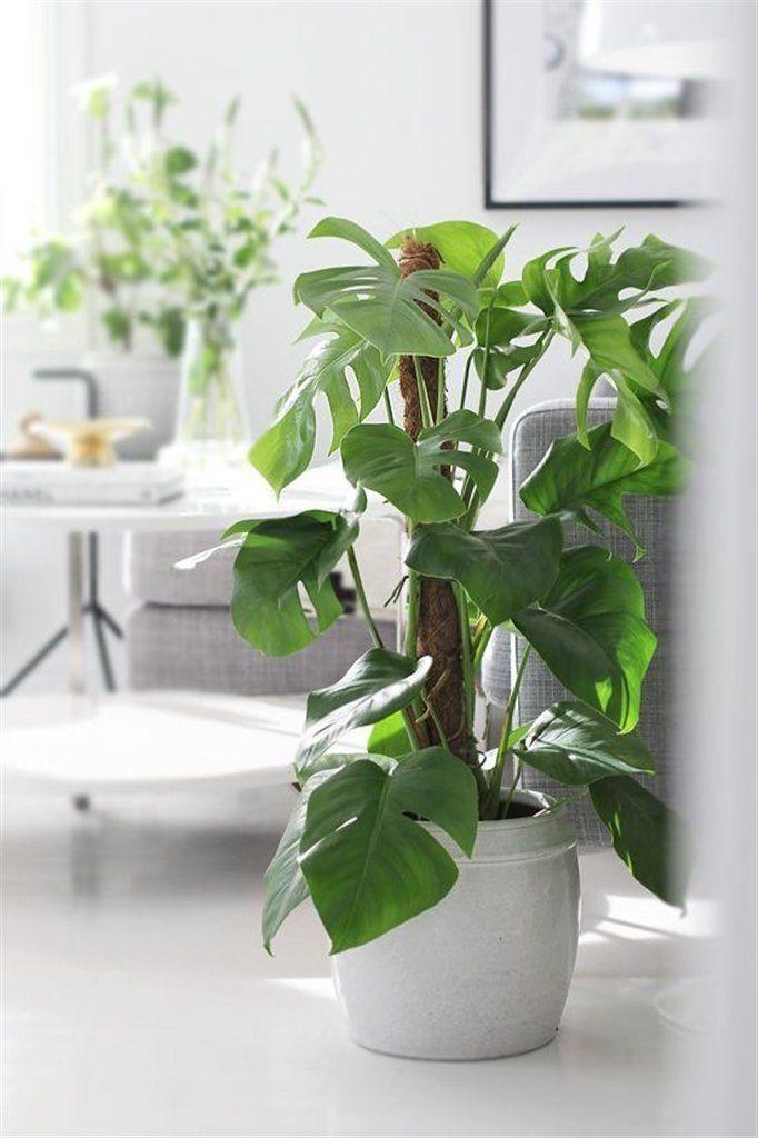 Pianta vera verde ornamentale da interni MONSTERA ...