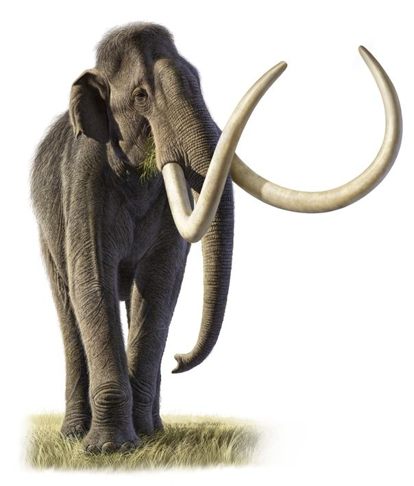 The woolly mammoth essay