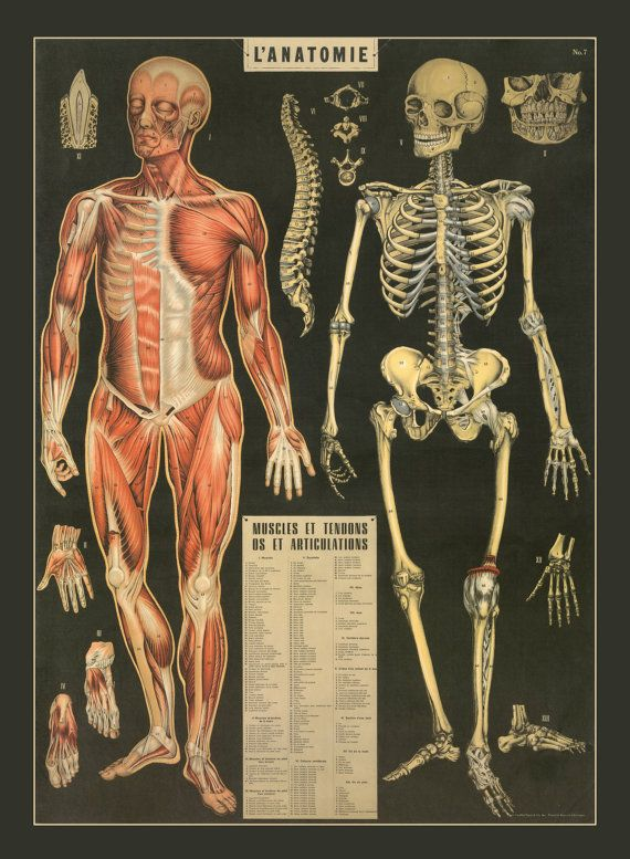 BONES an excellent detailed poster print great quality A2 HUMAN ANATOMY BODY
