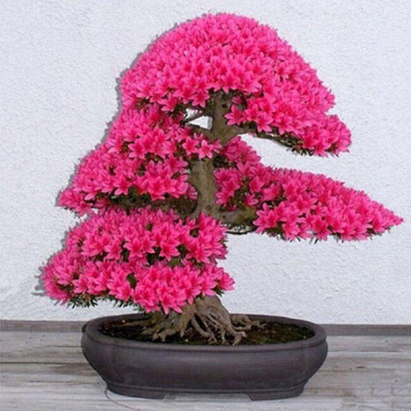Árbol de los bonsai japonés sakura semillas, bonsai flor flores de