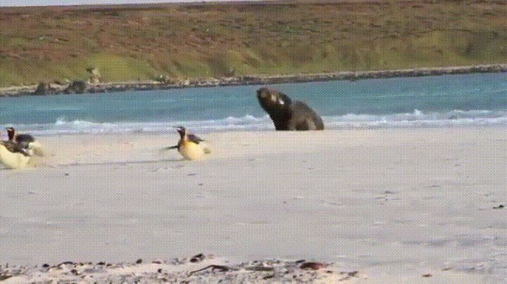Hard to imagine the penguins are running for their life