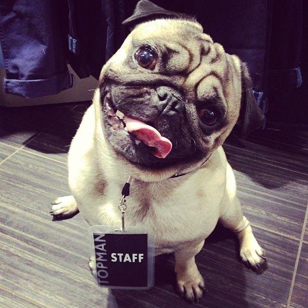 Pug Lands Dream Job As Bouncer For Taylor Swift Pugs Cutest